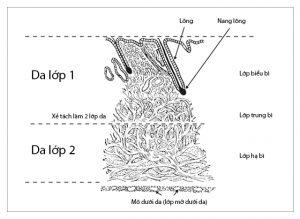 Kết cấu của lớp da theo chiều lát cắt ngang